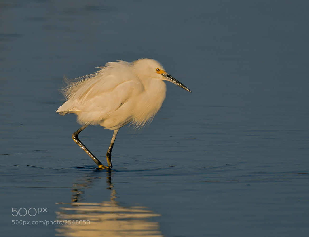 Photograph Snowy Egret by Steven Kersting on 500px