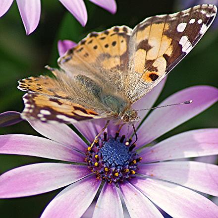 Butterfly, Pentax K-R, Tamron AF 70-300mm F4-5.6 LD Macro 1:2