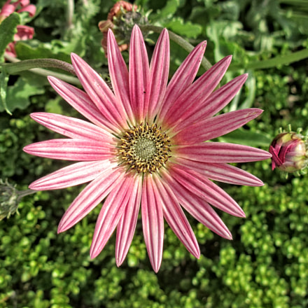 MGI flower 04, Canon IXUS 230 HS