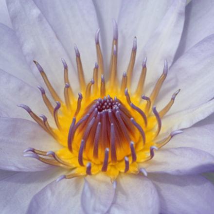 a lotus flower, Canon EOS KISS X2, Tamron 90mm f/2.8