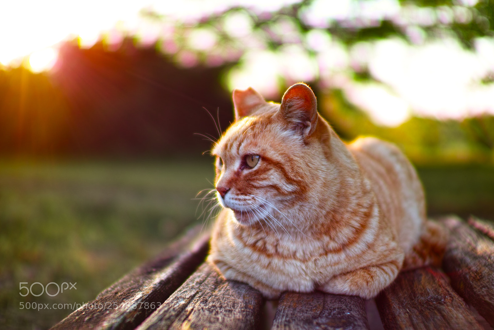Cat every day, Sigma SD1 MERRILL, Sigma 30mm F1.4 EX DC HSM