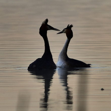 Great crested grebe Podiceps, Nikon D750, Sigma 150-600mm F5-6.3 DG OS HSM | C
