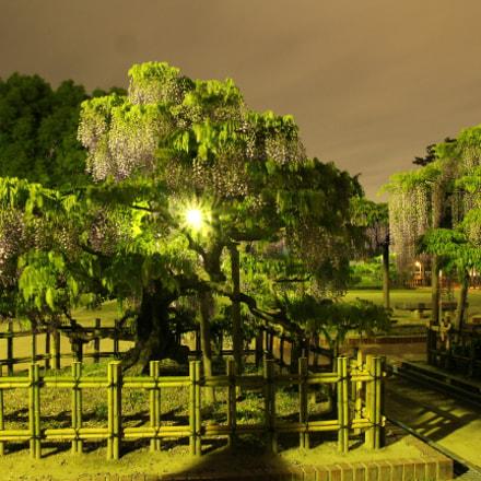 #fujihana/wisteria, Canon EOS KISS X7I, Sigma 17-70mm f/2.8-4 DC Macro OS HSM