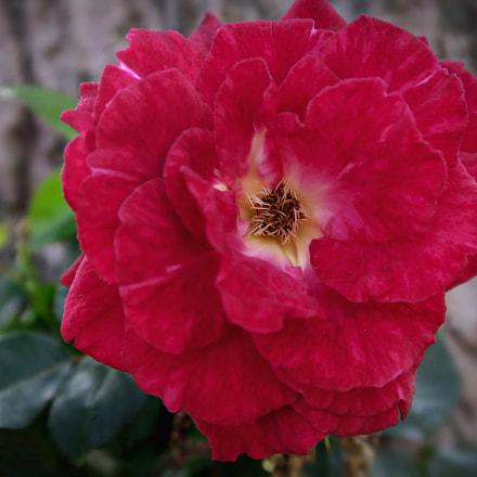 Rose, Canon POWERSHOT G5 X