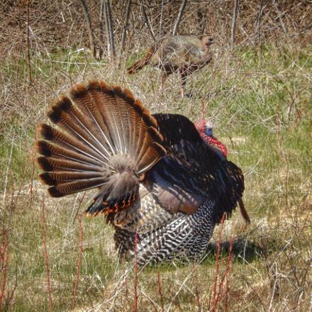 Wild Turkey Tom in, Nikon COOLPIX S9600