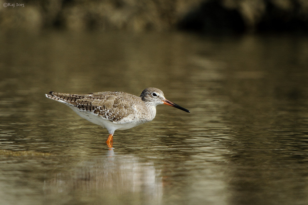 Photograph Red Shank by Rajmohan M.R. on 500px