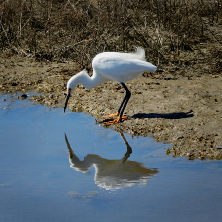 Narcissus (Snowy Egret), Nikon COOLPIX S9600