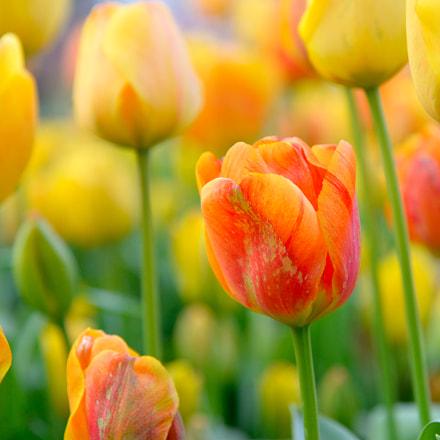 Tulips, Nikon D610, AF-S Nikkor 24-120mm f/4G ED VR