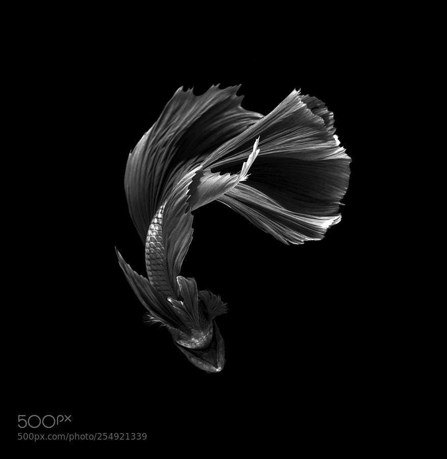 Siamese fighting fish bettafish by visarute