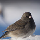 Dark Eyed Junco in Snow