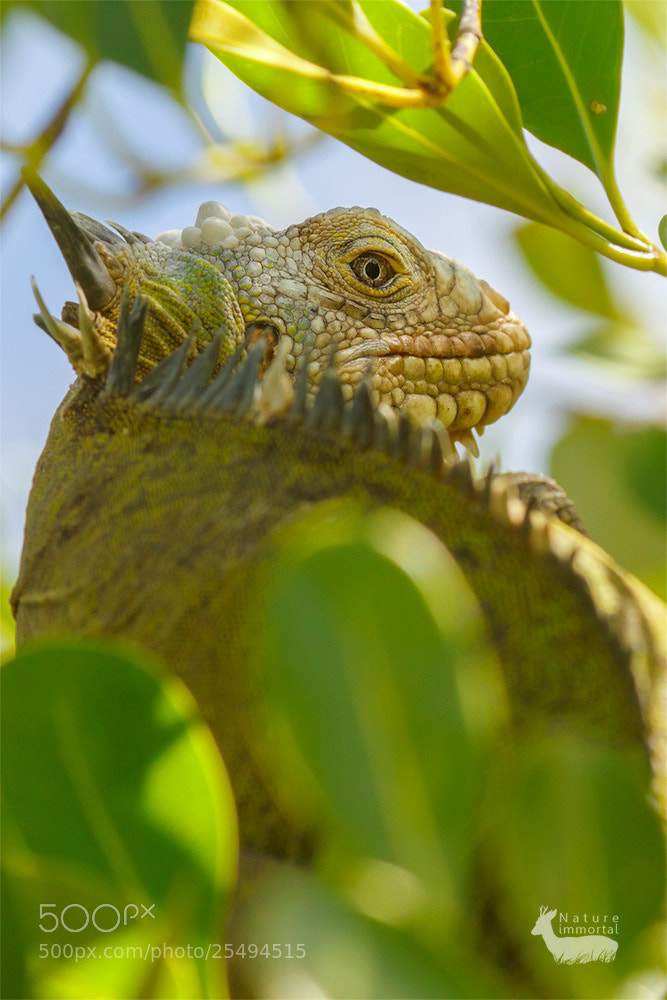 Photograph Lesser Antillean Iguana in tropical tree by Neil Burton on 500px