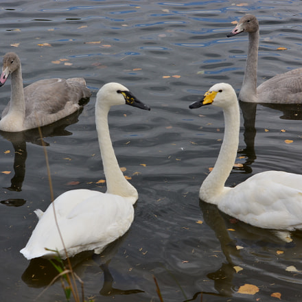 family of swans, Nikon D5200, Sigma 70-300mm F4-5.6 APO DG Macro HSM
