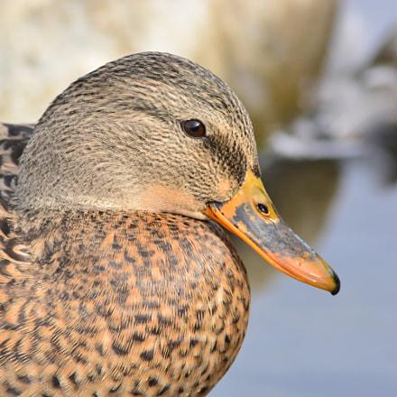 female duck, Nikon D5200, Sigma 70-300mm F4-5.6 APO DG Macro HSM