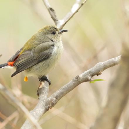 朱背硺花鳥(囡) Scarlet-backed Flowerpecker (F), Canon EOS 6D MARK II, Canon EF 300mm f/4L IS