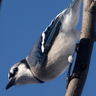 Bluejay Blue Sky