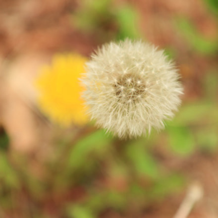 Dandelion, Canon EOS 80D, Canon EF-S 17-55mm f/2.8 IS USM