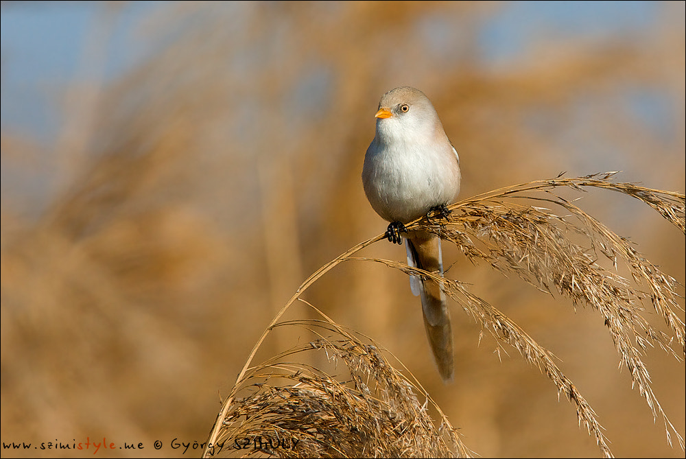 Photograph Bearded Reedling (Panurus biarmicus) by Gyorgy Szimuly on 500px