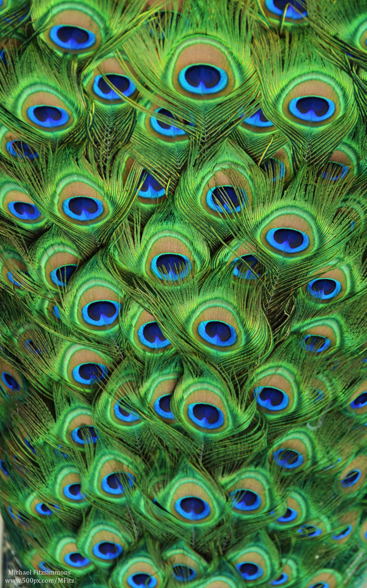 Photograph Peacock Plumage by Michael Fitzsimmons on 500px