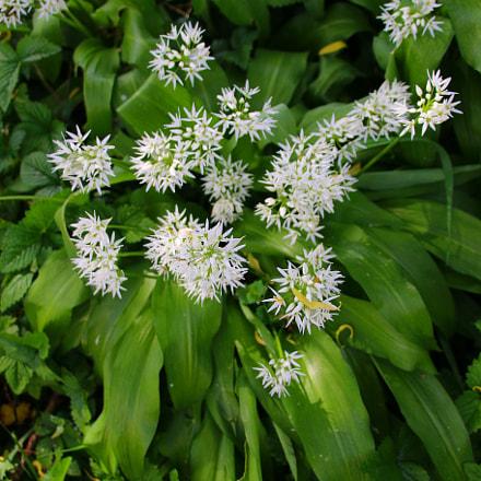 Allium ursinum, Canon EOS 70D, Canon EF 75-300mm f/4-5.6 IS USM