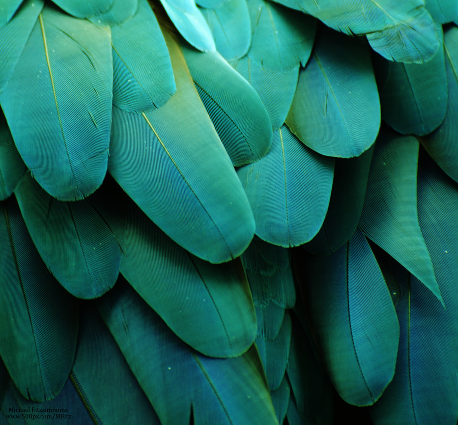 Macaw Feathers (Turquoise) by Michael Fitzsimmons on 500px.com