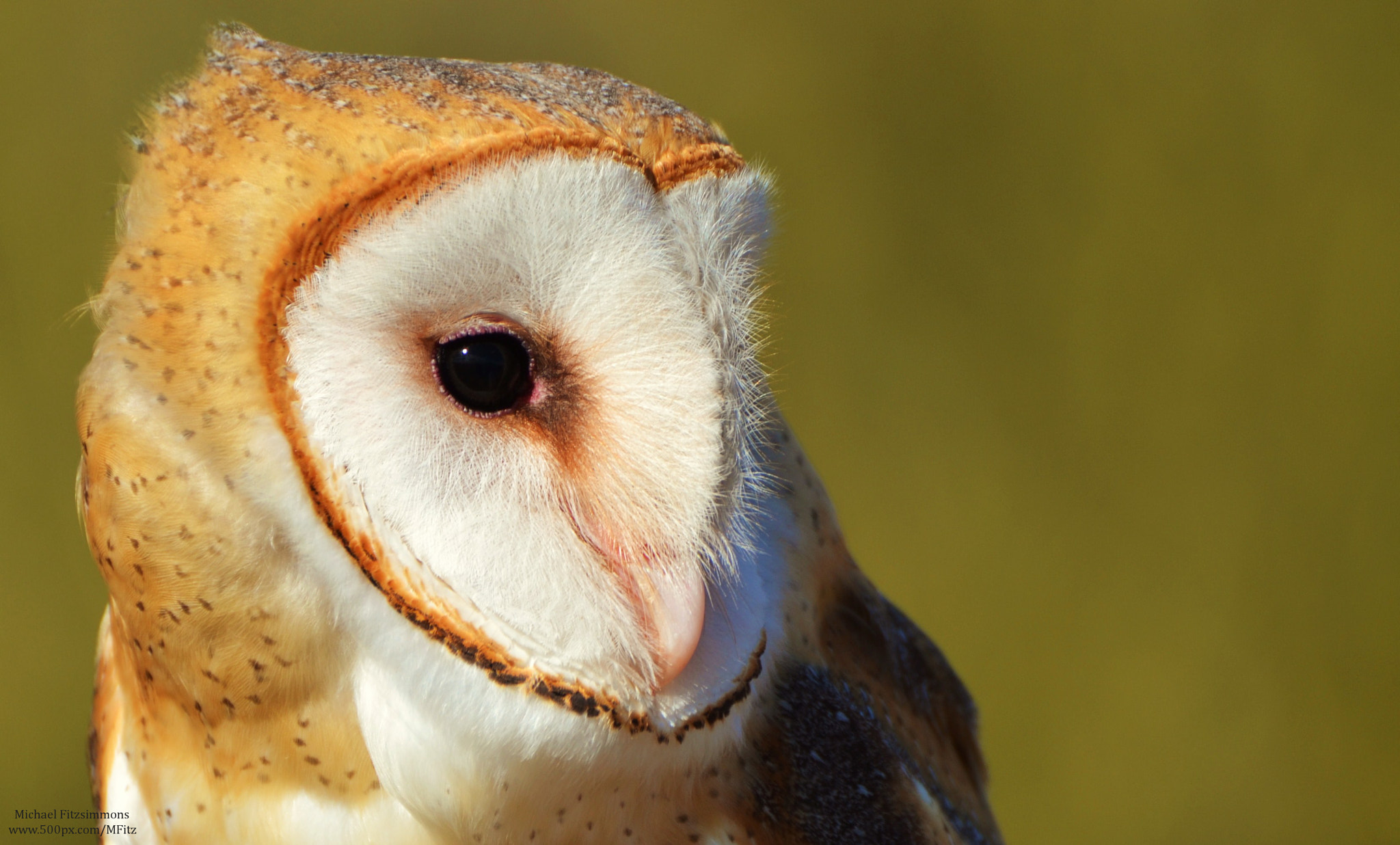 Photograph Barn Owl by Michael Fitzsimmons on 500px
