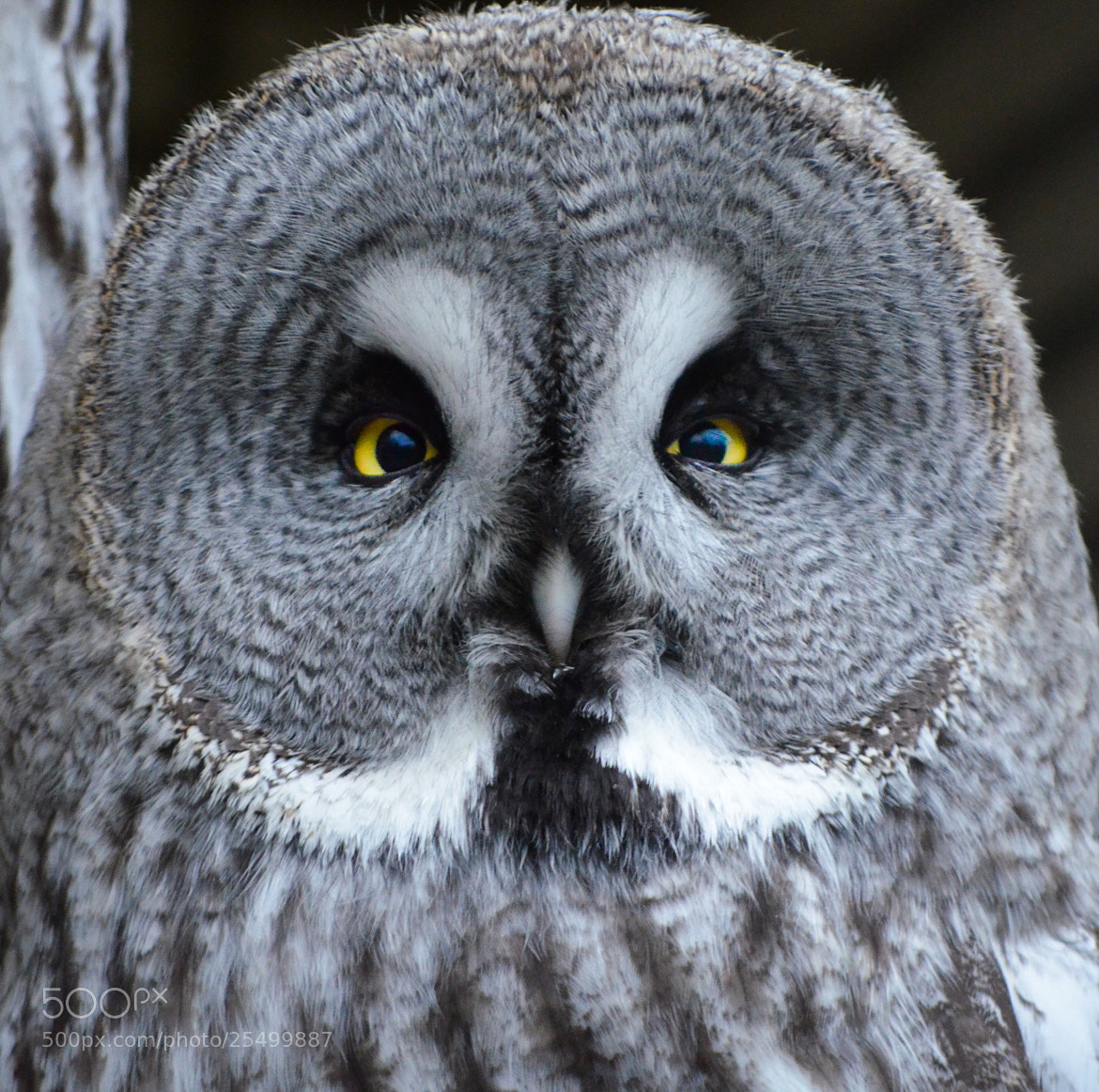 Photograph Great grey owl portrait  by Christophe Buyck on 500px
