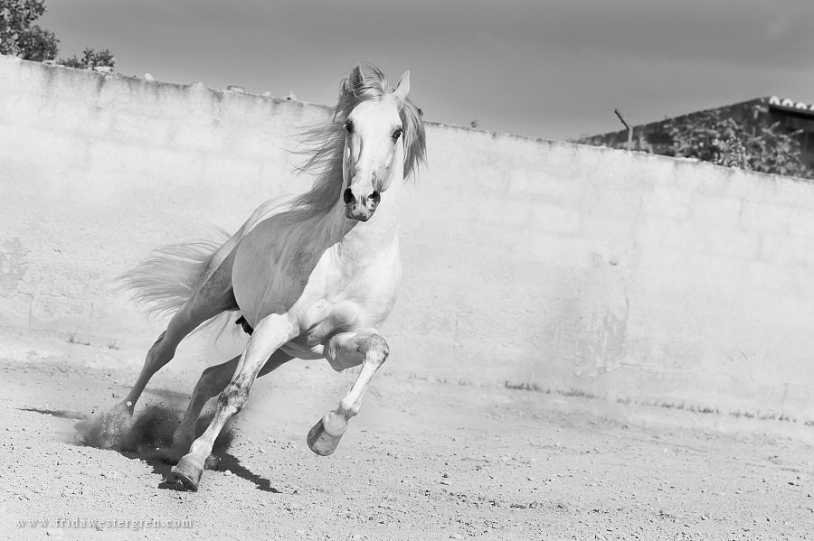 Photograph Running stallion by Frida Westergren on 500px