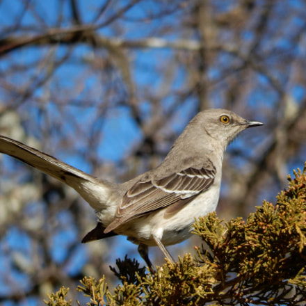 Northern Mockingbird, Nikon COOLPIX S9600
