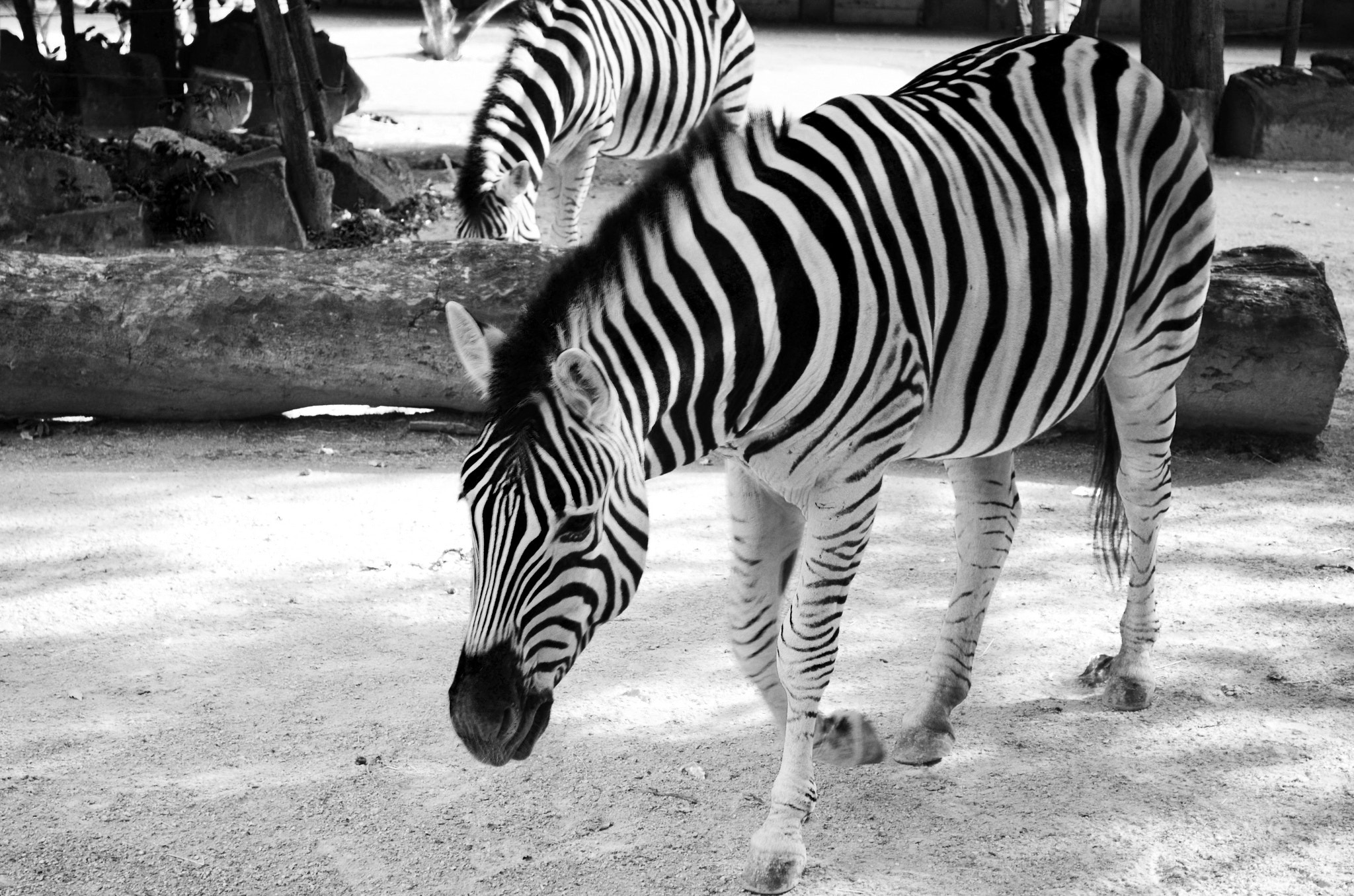 Photograph Black and white zebra by Christophe Buyck on 500px