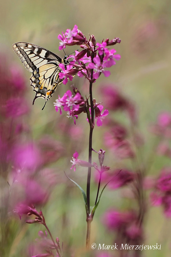 Photograph Summer with swallowtail by Marek Mierzejewski www.butterfly-photos.org on 500px