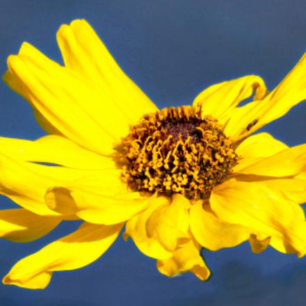 Gold Daisy, Canon POWERSHOT SX60 HS, 3.8 - 247.0 mm