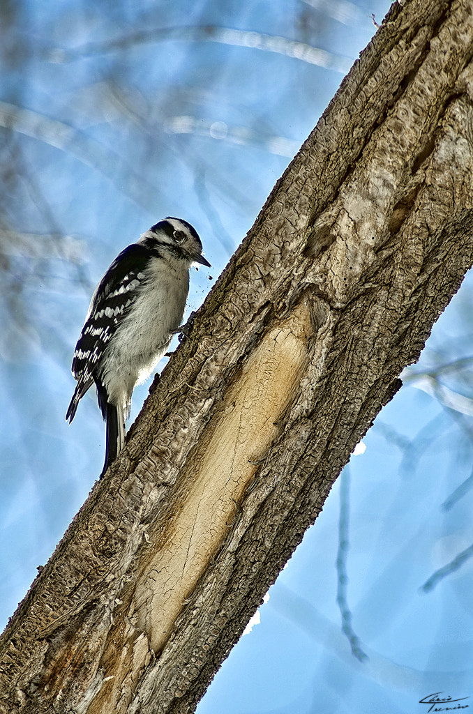 Photograph Woodpecker 1 by Christopher Trevino on 500px