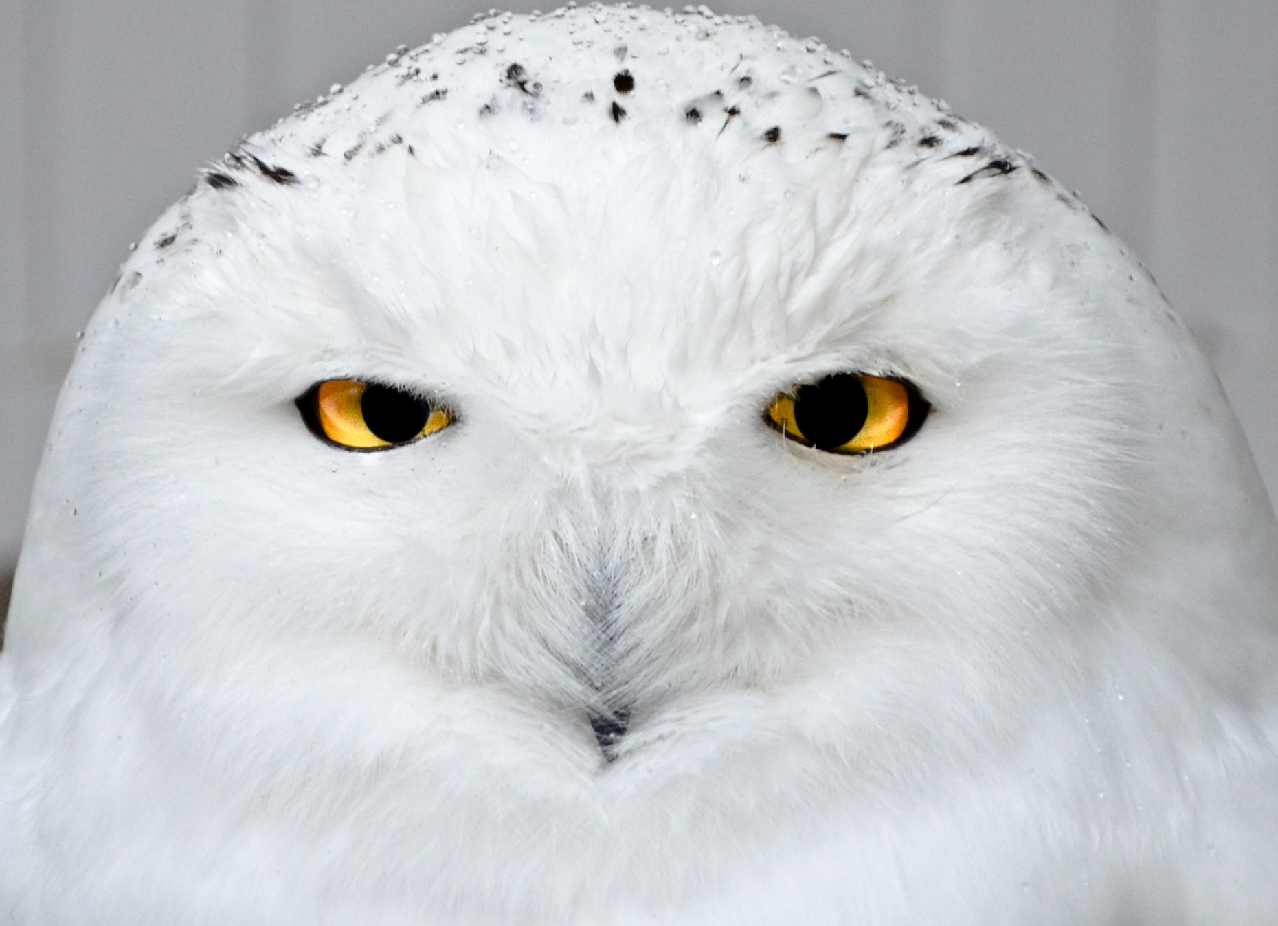 Photograph Portrait of a snow owl  by Christophe Buyck on 500px