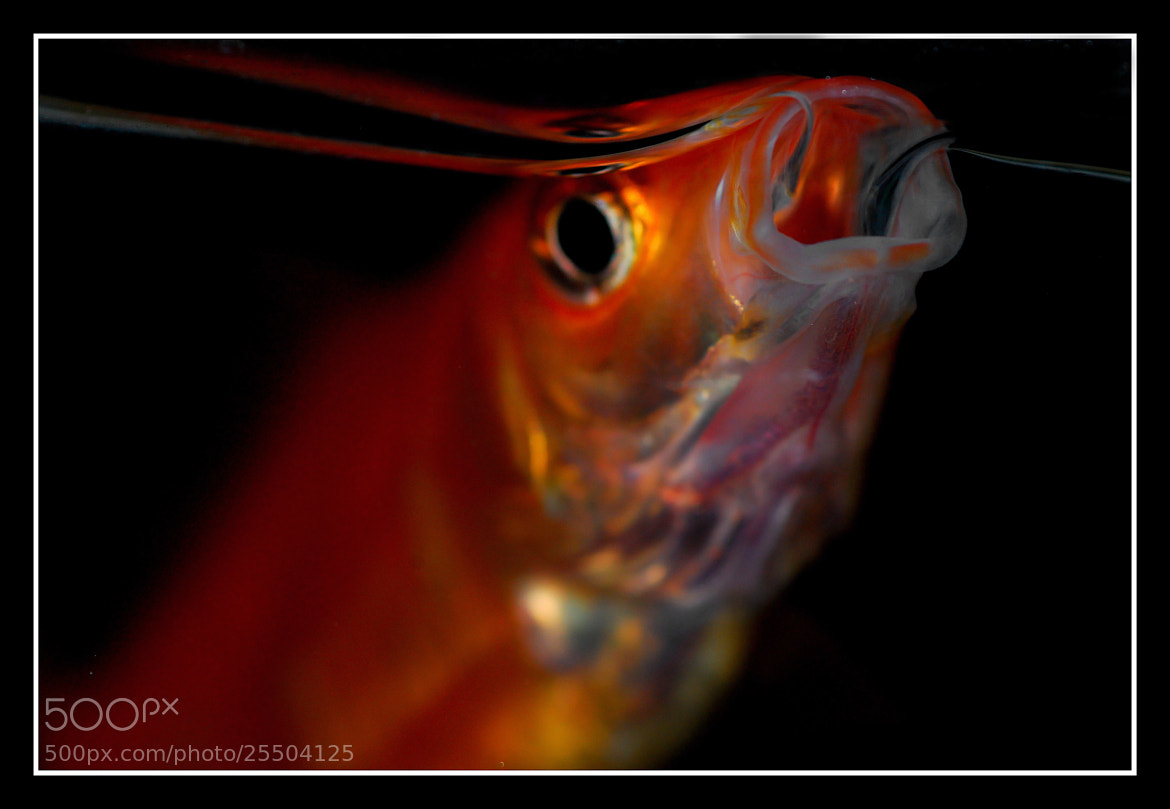 Photograph RED FISH by Sébastien Chambre on 500px