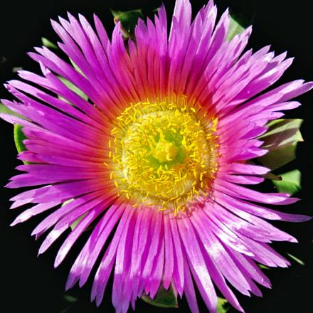 A Purple Dandelion Flower, Canon POWERSHOT SX60 HS, 3.8 - 247.0 mm