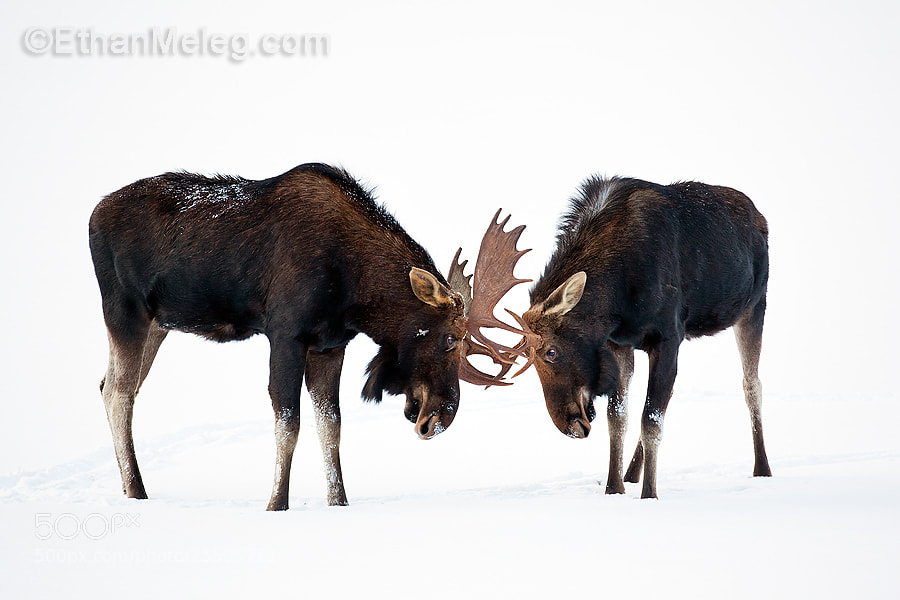 Photograph Bull Moose in Winter by Ethan  Meleg on 500px