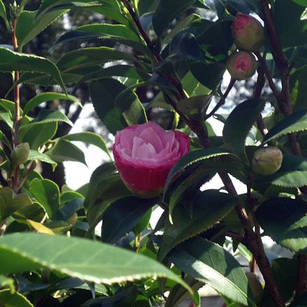 Pink blooming, Sony DSC-W530
