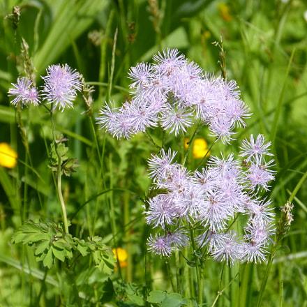Alpine Flowers, Panasonic DMC-FZ62