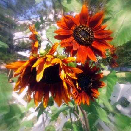 Sunflower day, Samsung Galaxy S BlazeQ