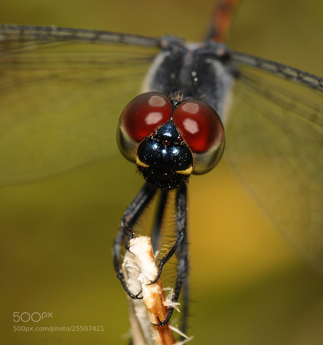 Photograph Red Eyed Beaut by Enkased  on 500px