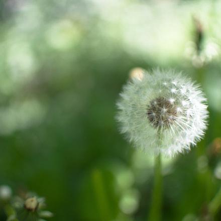 Dandelion macro - nature, Nikon D3200, AF-S DX Nikkor 35mm f/1.8G