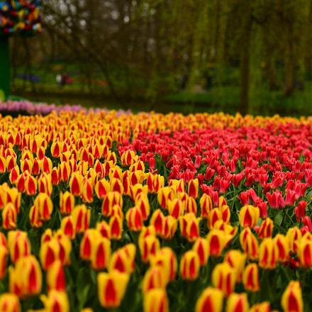 Tulips, Nikon D610, AF-S Nikkor 70-200mm f/2.8G ED VR II