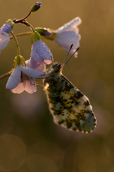 Photograph orangetip by Gertjan Ketelaars on 500px