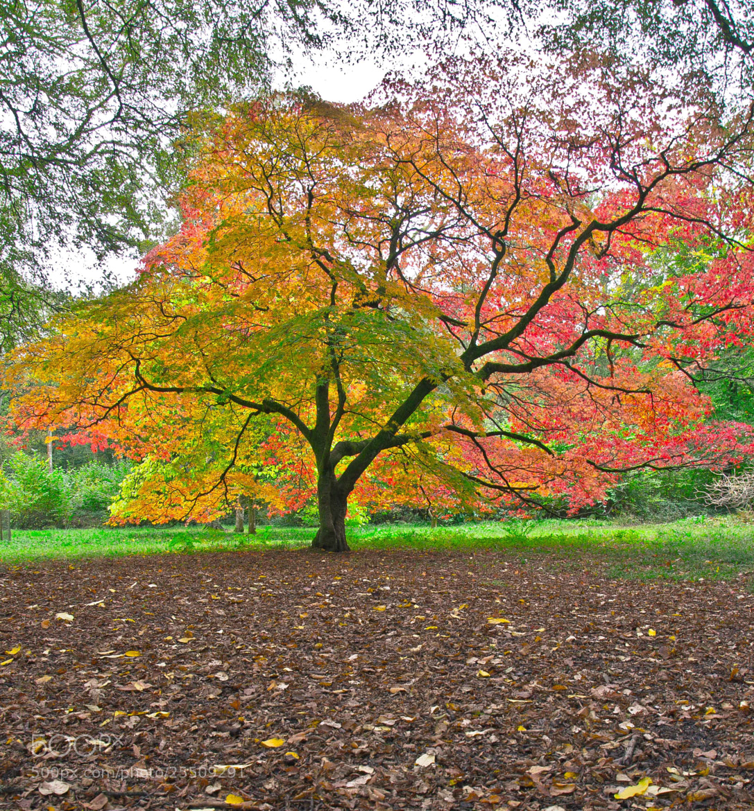 Photograph Autumn Maple at Westonbirt Arboretum by NarlsJunior  on 500px