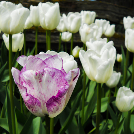 Purple Tulip, Nikon COOLPIX L24