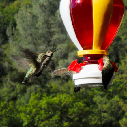Hummingbirds Feeding, Nikon COOLPIX L24