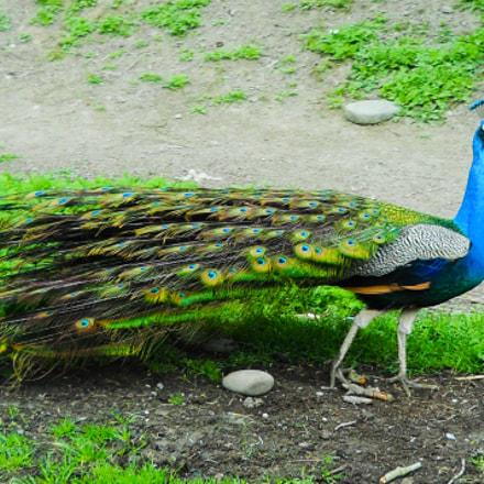 Peacock, Nikon COOLPIX L24