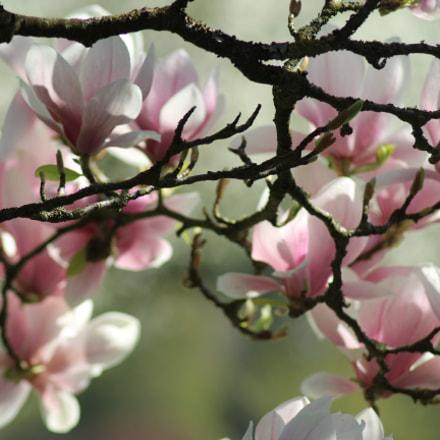 Magnolia, Canon EOS 1200D, Tamron AF 70-300mm f/4-5.6 Di LD 1:2 Macro