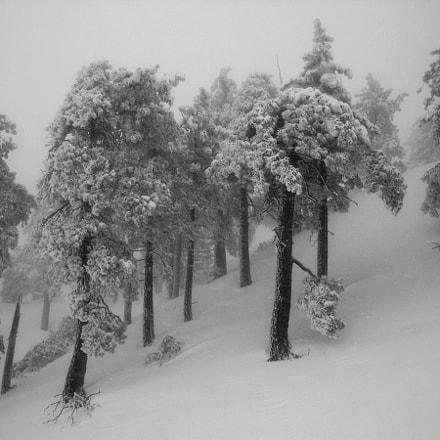 mt baldy trees web, Nikon E4300