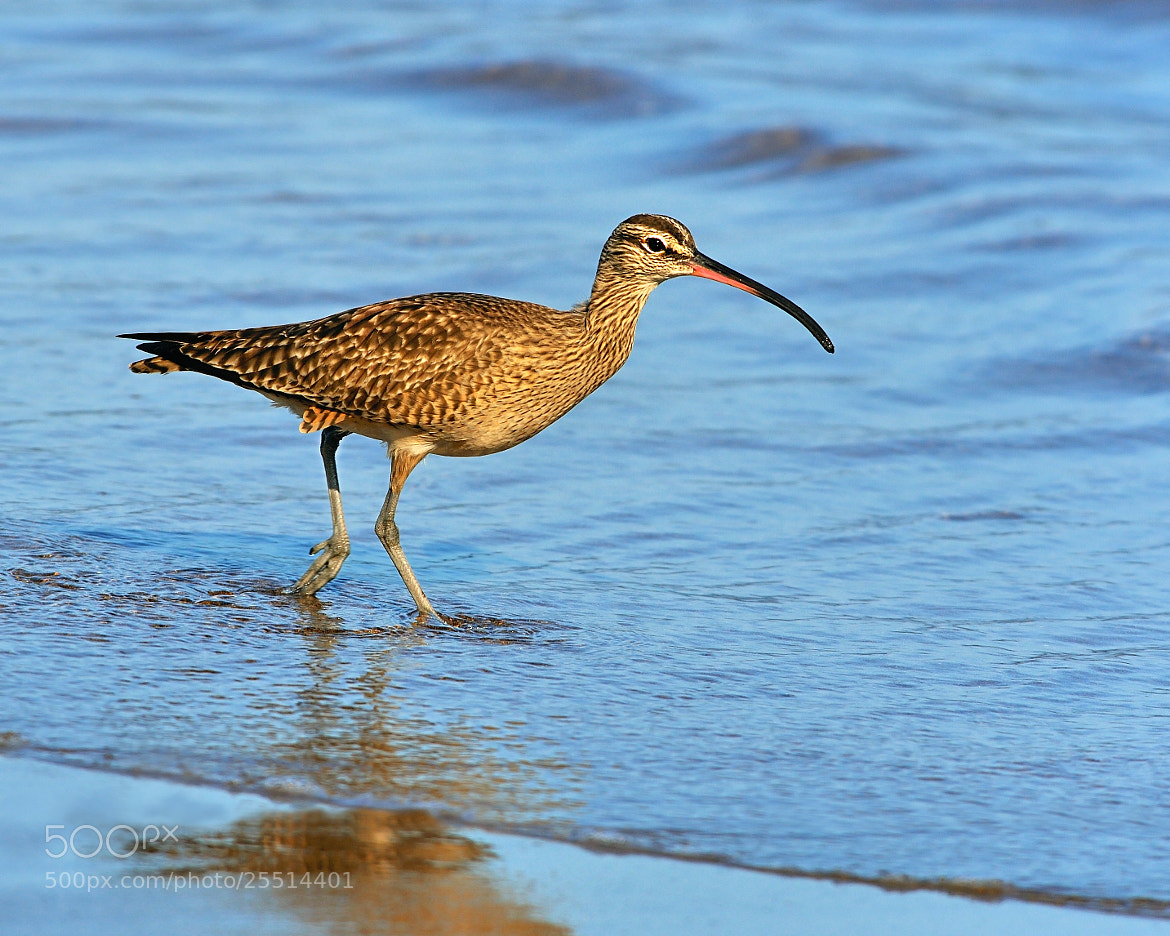 Photograph Whimbrel by Tony Beck on 500px